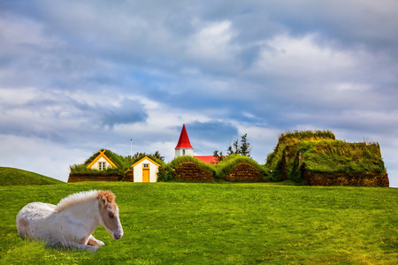Ethnographic Museum-estate Glaumbaer, Iceland.  Rural pastoral. Sleek Icelandic horse has a rest on a green lawn. The concept of the historical and cultural tourism