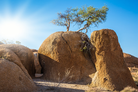 Sandy Acacia on the granite rocks of the Namib Desert. Spitzkoppe, Namibia. Concept of extreme and ecological tourism