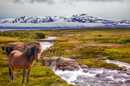 On the horizon - rhyolite mountains in the snow. The concept of extreme northern tourism.  Sleek Icelandic horse grazing  on the shore of creek  Stock Photo