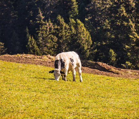 Calf grazing on a grassy hill. Well-known international ski resort Alps di Siusi. Concept of active and ecological tourism