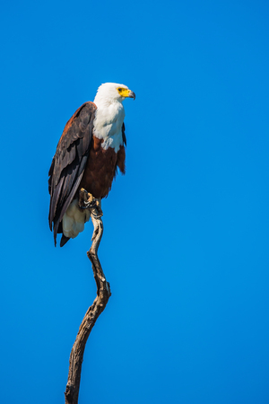 The concept of extreme and exotic tourism. Chobe National Park on the Zambezi River, Botswana.  African fish eagle on the background of bright blue sky Stock Photo