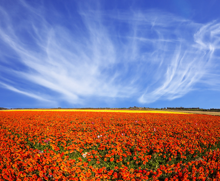 kibbutz: The magnificent blossoming fields of garden buttercups. Concept of rural tourism. Light cirrus clouds over the floral splendor Stock Photo