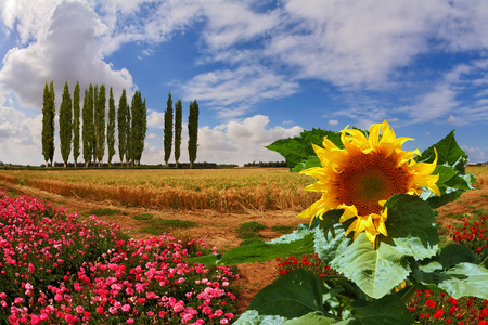 Huge sunflower blooming in a field of pink garden buttercups. On the horizon is growing cypress alley Stock Photo
