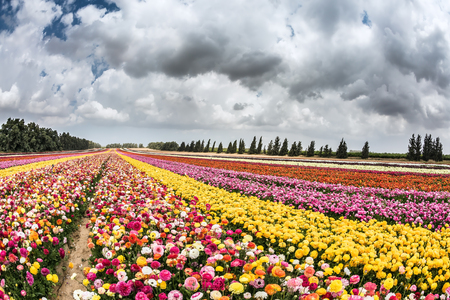kibbutz: Spring carpet of flowers. Huge field of blossoming garden buttercups. Israeli kibbutz on the border with the Gaza Strip