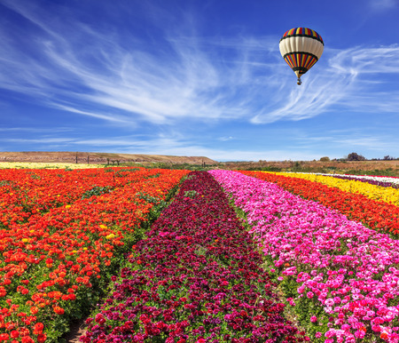 Spring windy day. Field of blooming buttercups ranunculus. Flowers planted with broad bands of bright colors - red, claret and pink. Huge balloon flies over a field