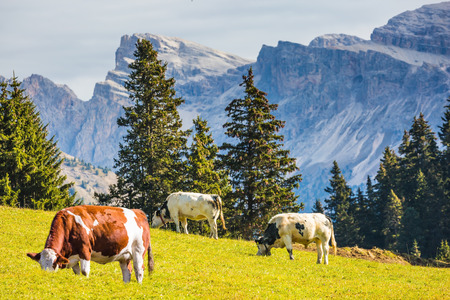 On the green grass hillside grazing three cows. Sunny in Dolomites. Forested mountains surrounded by green Alpine meadows. The concept of active and eco-tourism