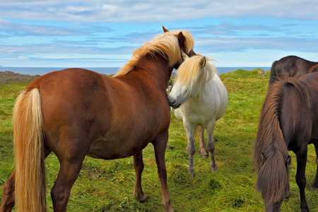 Beautiful and well-groomed horse chestnut and white suit on free ranging. Icelandic horses on the shore of the fjord Stock Photo