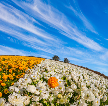 The magnificent blossoming fields of garden buttercups. Concept of rural tourism. Cirrus clouds over the floral splendor Stock Photo
