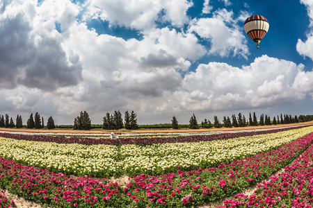kibbutz: Great multi-colored balloon flies over flower field. Flowers on the field planted by color stripes. Israeli kibbutz on the border with Gaza Strip