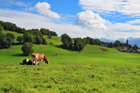 vacas lecheras: Pastorale in Provence, France. Green meadow with lush grass and grazing cows