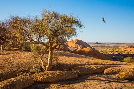 Sand acacia on granite stones of the Namib Desert. Spitzkoppe, Namibia. Concept of extreme and ecological tourism Stock Photo