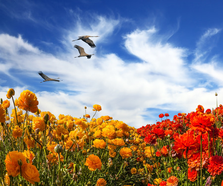 buttercups:  Three large birds flying high in the cirrus clouds. The southern sun illuminates the flower fields of  buttercups. The concept of ecological and recreational tourism