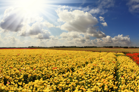 kibbutz: The spring sun shines brightly gorgeous flowers. Picturesque field of beautiful yellow buttercups ranunculus