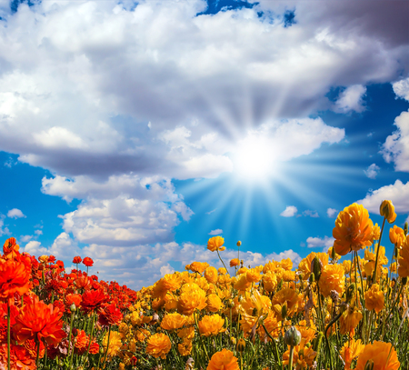 buttercups: Concept of rural tourism. The bright southern sun shines through the lush cloud. The fields of red and yellow garden buttercups Stock Photo