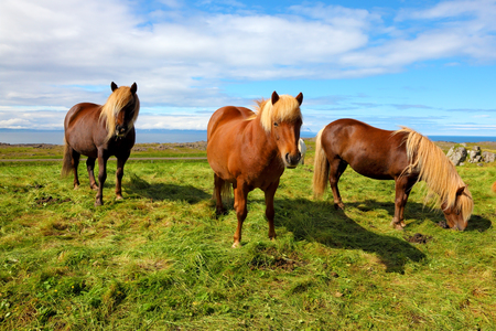 Summer in Iceland. Three Icelandic bay horses with yellow  manes on a free pasture