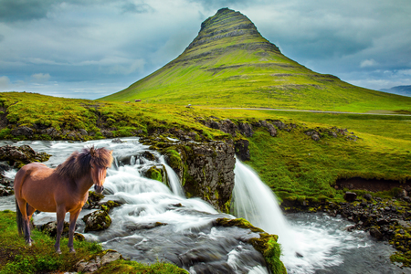 Ruffled sleek Icelandic horse grazes in the tall grass. Cascade falls Kirkjoufellfoss at the mountain Kirkjoufell. Summer in Iceland. Concept of exotic and extreme tourism