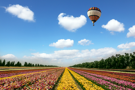 Quiet sunny spring day. Great multi-colored balloon flies over flower field. Buttercups kibbutz near Gaza Strip