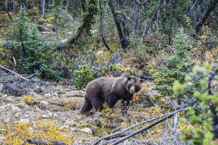 Big brown bear looking for edible roots, berries and acorns. Autumn forest in Jasper National Park Stock Photo