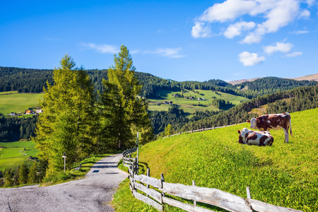 On the green grass hillside grazing two cows. Sunny in Dolomites. Forested mountains surrounded by green Alpine meadows. The concept of active and eco-tourism