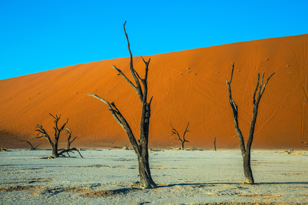 Ecotourism in  Namibia. The dried lake Deadvlei. Scenic dried trees among the giant orange sand dunes