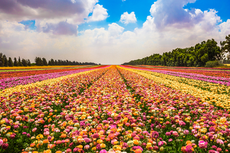 Magnificent flowering garden buttercups. Kibbutz field next to the Gaza Strip. Spring in Israel. The concept of modern agriculture and industrial floriculture