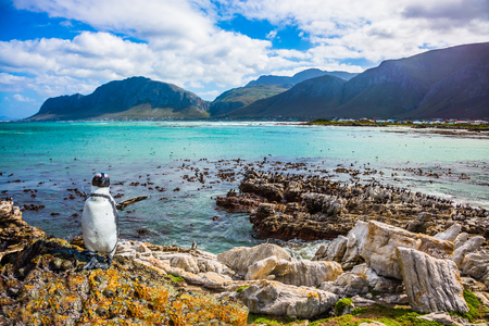 table mountain national park: The boulders and seaweed, in Boulders Penguin Colony National Park, South Africa. Fanny african black - white penguin on the beach of Atlantic. The concept of  ecotourism