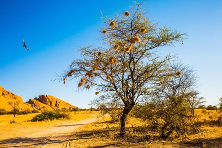 Spitzkoppe, Namibia. Sand acacia on granite stones of the Namib Desert. Concept of extreme and ecological tourism