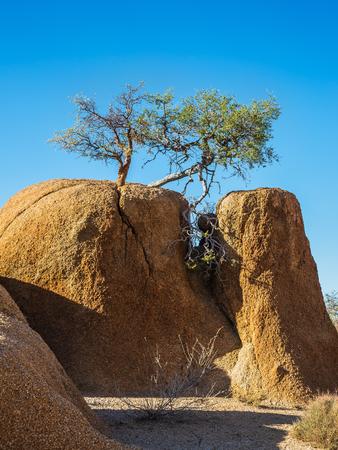 Sand acacia grows on rock split the Namib Desert. Spitzkoppe, Namibia. Concept of extreme and ecological tourism