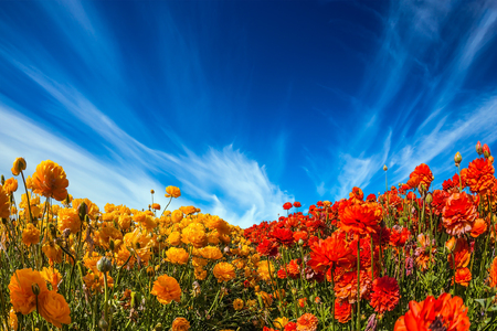 cirrus: The concept of rural tourism and agro-tourism. Picturesque huge field of blooming buttercups. Light cirrus clouds over the floral splendor