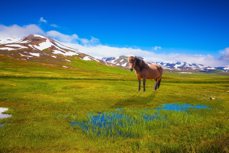 Chestnut Icelandic horse grazing in the meadow. Summer Iceland. Small lake surrounded by green fields Stock Photo