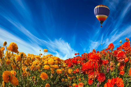 El globo multicolor vuela lentamente sobre campos florecientes de ranúnculos de jardín. Concepto de turismo rural y extremo. Los cirros claros presagian un día caluroso