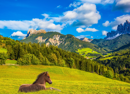 Warm autumn day in the Val de Funes, Dolomites. The concept of ecological tourism. Sleek horse resting in the tall grass