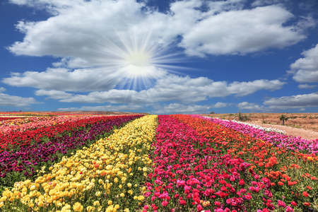 buttercups: The field of flowers. Flowers grow stripes of different colors - red, pink, maroon and yellow