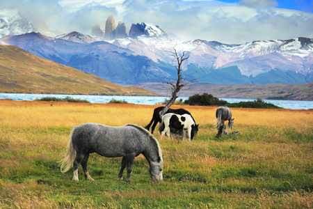 towering: Gray and black horses grazing in a meadow near the lake. On the horizon, towering cliffs Torres del Paine Stock Photo