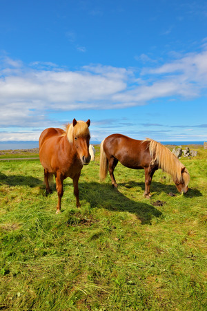 Summer in Iceland. Two Icelandic bay horses with white manes on a free pasture
