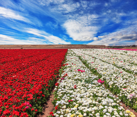 buttercups: The kibbutz field with blossoming buttercups - ranunculus of different colors. Spring flowering buttercups