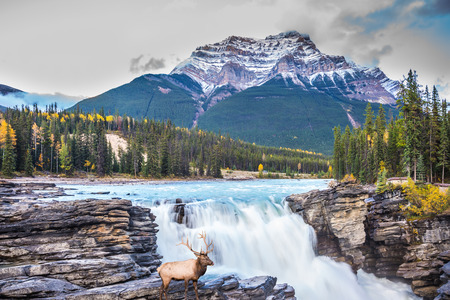 The waters of a melting mountain glacier feed the seething waterfall of Athabasca. The red deer on the waterfall. Travel to Jasper Park, Canada. The concept of extreme and ecological tourism