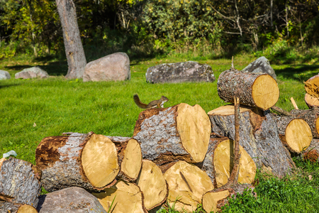 Forest in Pinawa Provincial Heritage Park. On the stump sits small squirrel. The firewood prepared for the winter Stock Photo