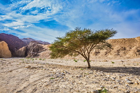 The stone desert in mountains of Eilat, Israel. Tree Desert Acacia tortilis in the Black Canyon