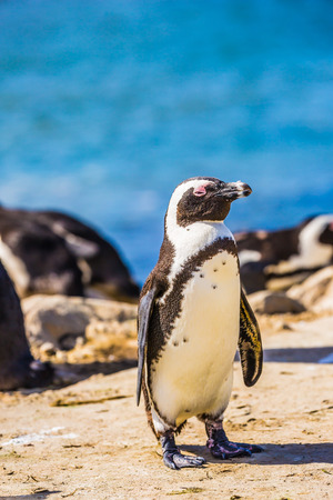 Table Mountain National Park, South Africa. The concept of ecotourism. African black - white penguin on the beach in Boulders Penguin Colony