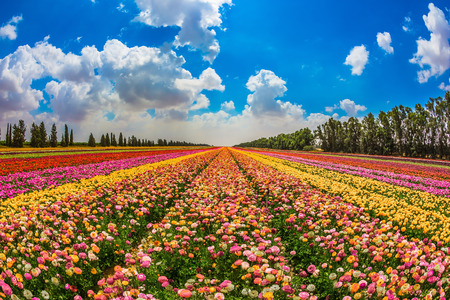 Kibbutz field next to the Gaza Strip. Spring in Israel. Magnificent multicolored flowering garden buttercups. The concept of modern agriculture and industrial floriculture