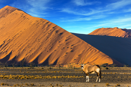 Oryx standing at the road. Sharp border of light and shadow over the crest of the dune. Namibia, South Africa. Sunset in the desert. The concept of  exotic and extreme tourism