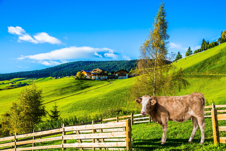 Charming rural landscape in the Dolomites. Magnificent summer in Tirol. Sleek cow grazing in the grass. The concept of eco-tourism