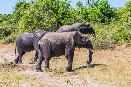 Okavango Delta: Okavango River shore. Herd of African elephants at the watering. The concept of exotic and active tourism. Botswana, Chobe National Park