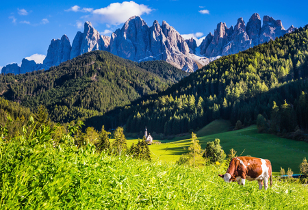 On the grass hillside grazing cow. Sunny day in Dolomites. Forested mountains surrounded by green Alpine meadows. The concept of active and eco-tourism