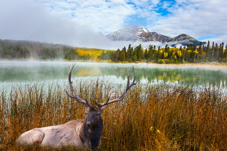 Noble deer with branched horns resting in grass. Cool autumn morning in the Rocky Mountains. Morning mist spreads over the lake. The concept of ecological tourism