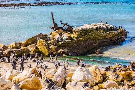 table mountain national park: African black-and-white penguins. Huge boulders on the beach of the Atlantic Ocean. The concept of  ecotourism. Boulders Penguin Colony in the Table Mountain National Park, South Africa Stock Photo