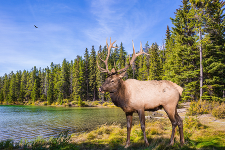 The picturesque lake with emerald water in the Rocky Mountain, Canada. Noble deer with branched horns resting by the lake. The concept of ecological and active tourism