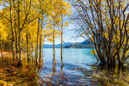 The flooded coastal birchwoods. Picturesque Abraham Lake in a flood. Journey to the Golden Autumn in Rocky Mountains. The concept of ecological and active tourism Reklamní fotografie