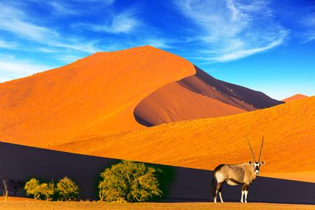 Namíbia, África do Sul. Pôr do sol no deserto. Oryx em pé na estrada. O conceito de turismo exótico e extremo